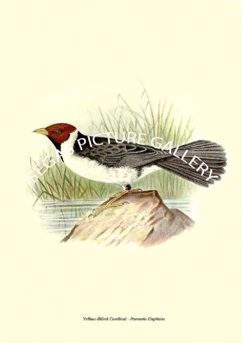 Fine art print of the Yellow-Billed Cardinal - Paroaria Capitata by the Artist Frederick William Frohawk (1899)